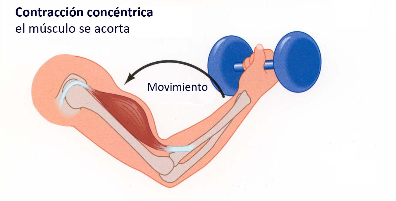 Los músculos o grupos musculares más importantes a la hora de ...