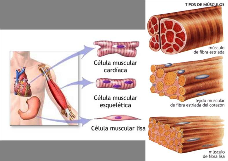 Tipos de músculos (Ejemplo) - MindMeister