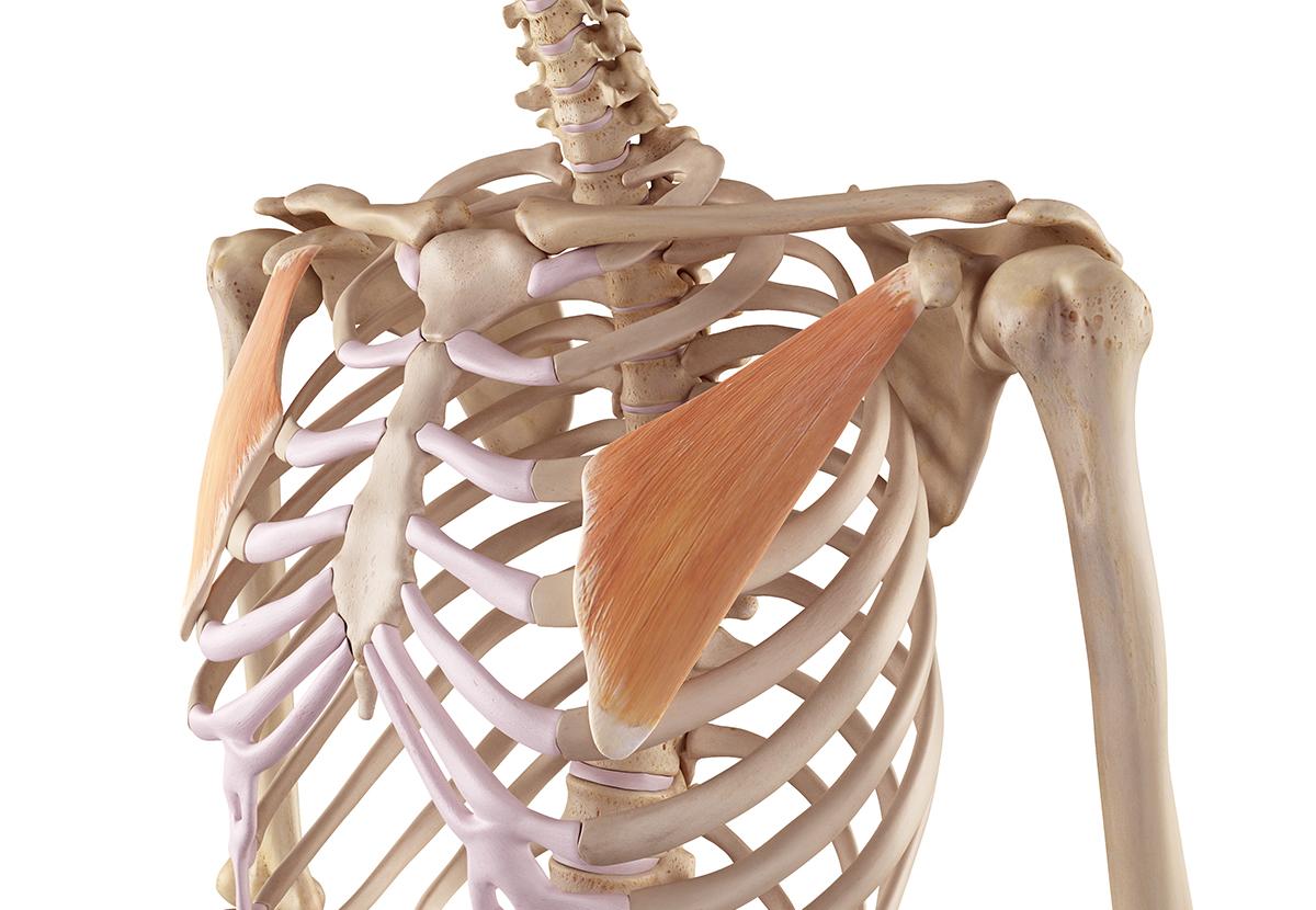 Pectoral Menor. Anatomía, función y lesiones en las que se ve ...