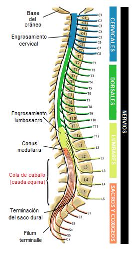 anatomía de la cola de caballo o cauda equina