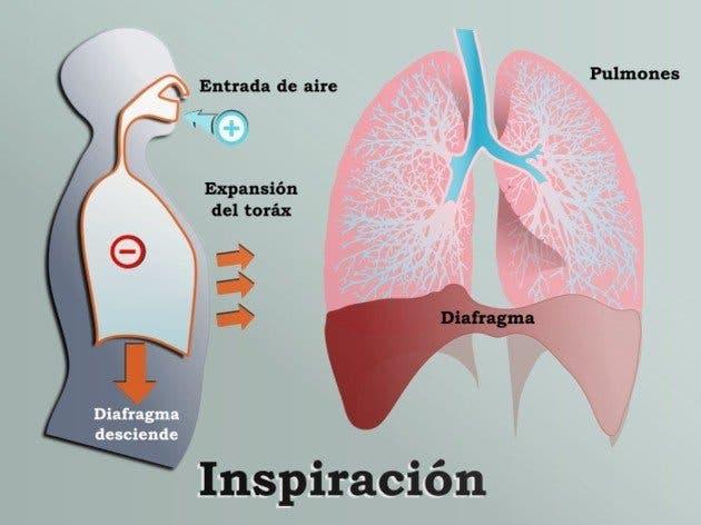 anatomía de la respiración inspiración