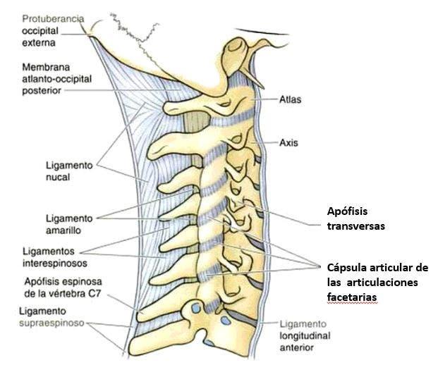 anatomía ligamentos de la columna cervical