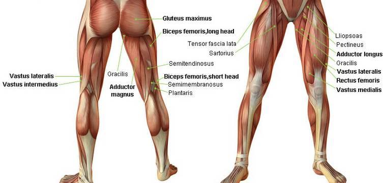 anatomía músculos del muslo
