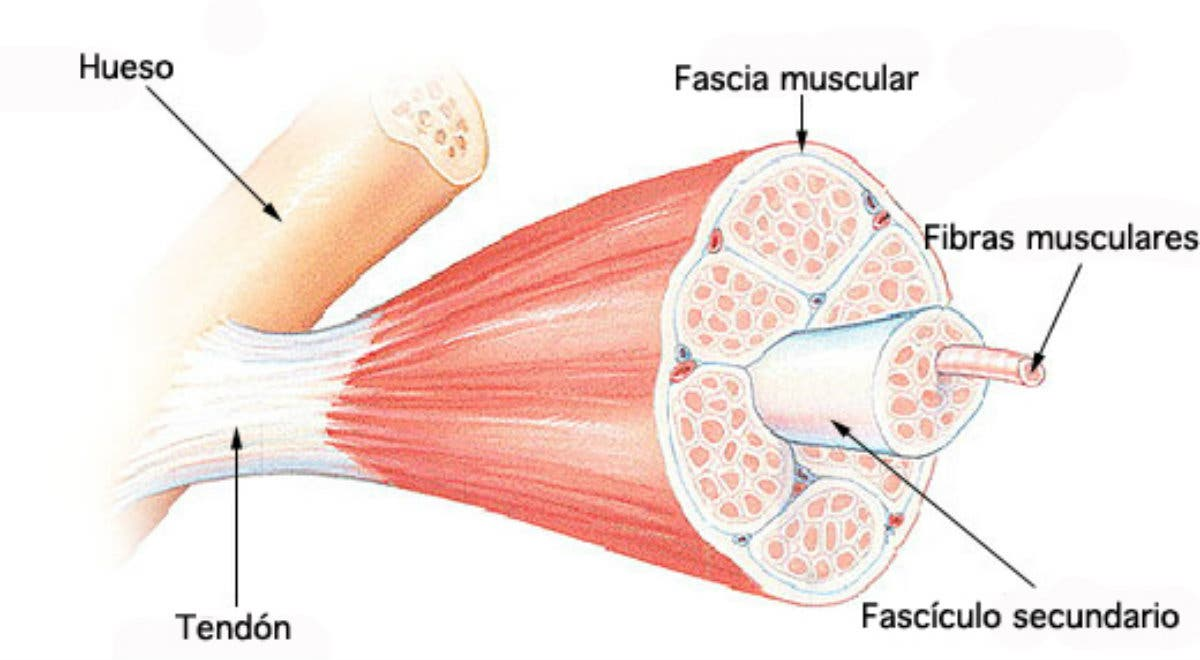 anatomia de puntos de gatillo