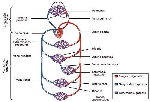 funciones del sistema circulatorio