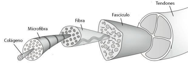 Cómo está formado el tendón