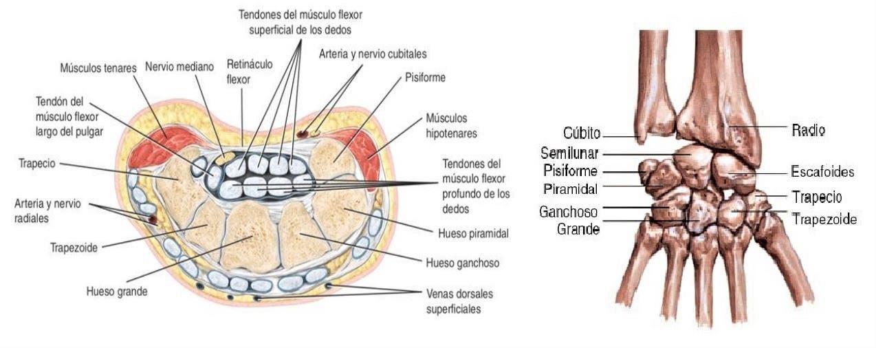 Anatomía de la muñeca