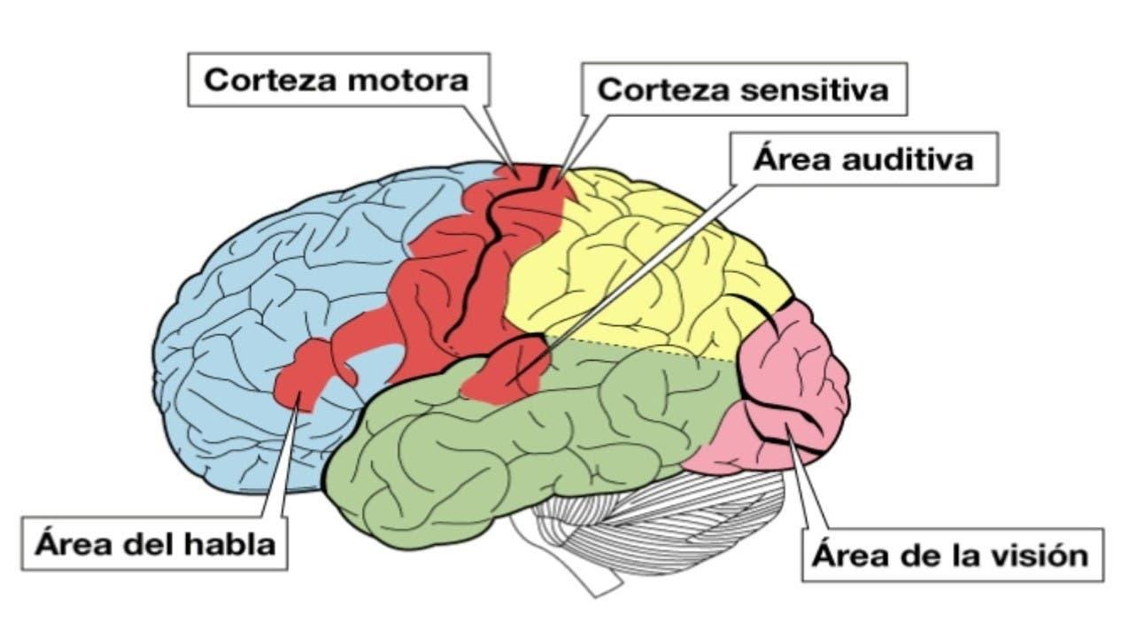 Corteza cerebral y sus partes