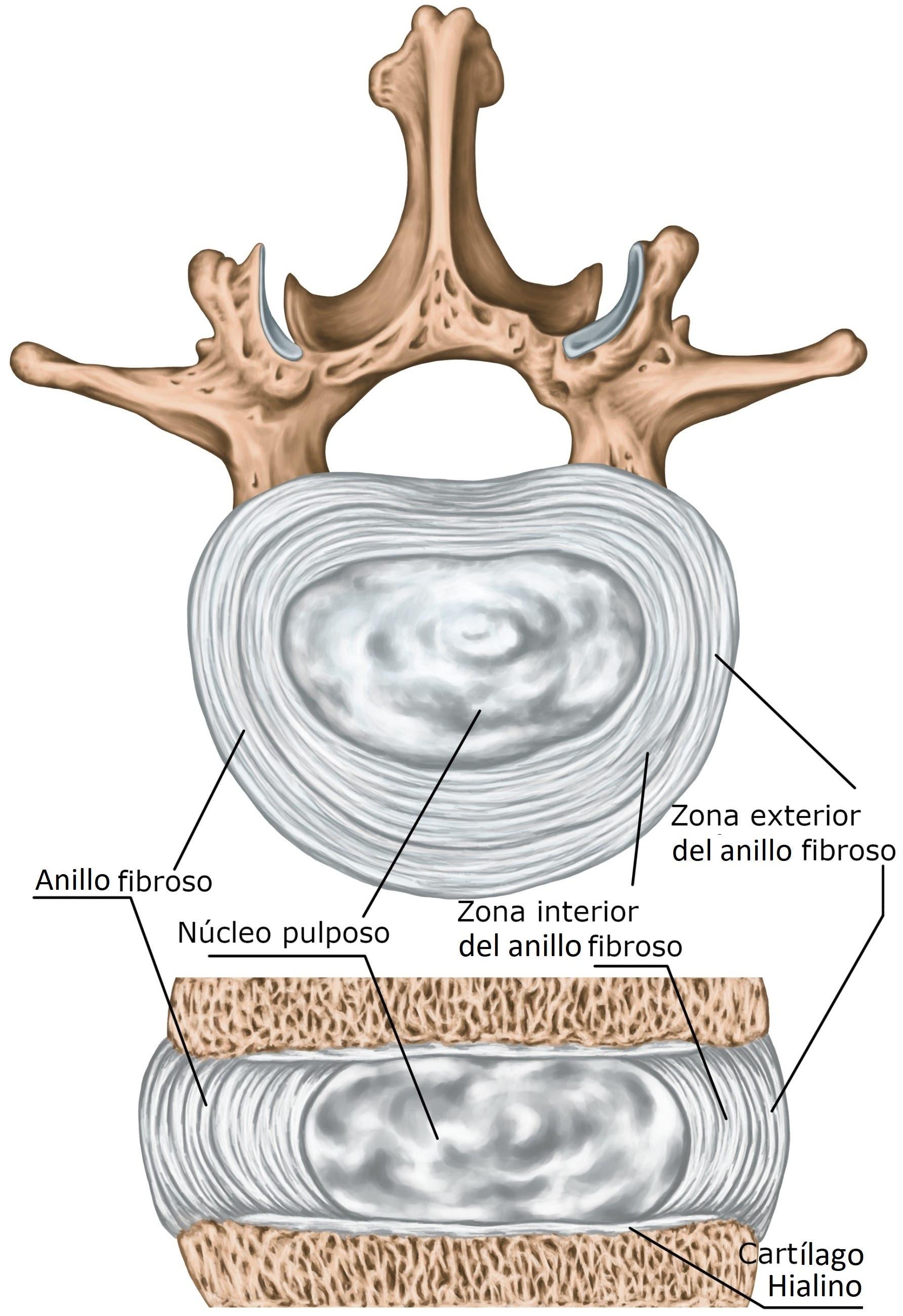 anatomía del disco intervertebral