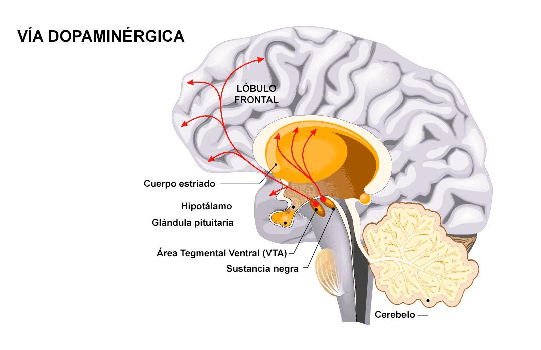 funcionamiento de la dopamina en el cerebro