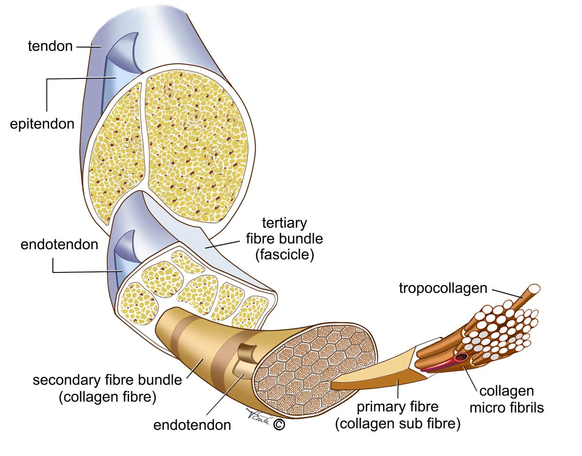 estructura del tendón