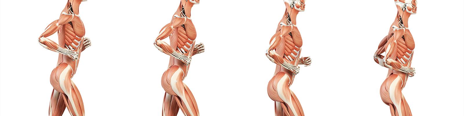 Componentes y estructuras musculares
