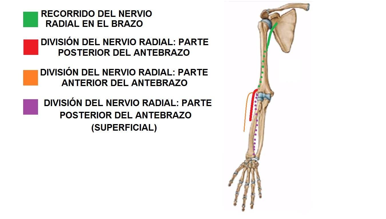 Cómo realizar Auto-movilizaciones del nervio radial de manera ...