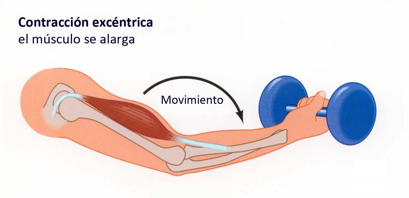 Los músculos o grupos musculares más importantes a la hora de entrenar la fuerza.