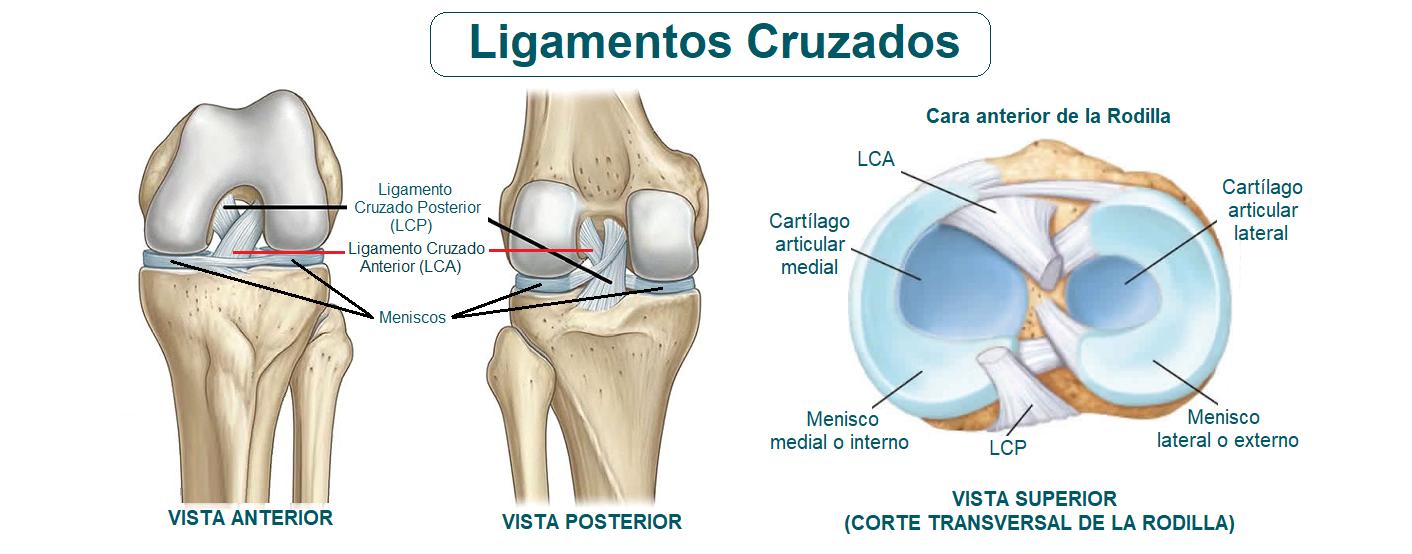 anatomía de los ligamentos cruzados