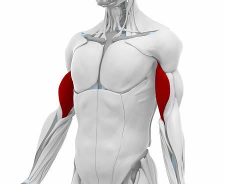 Ejercicios de fortalecimiento de bíceps