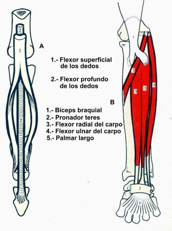 músculos que se originan en la epitroclea