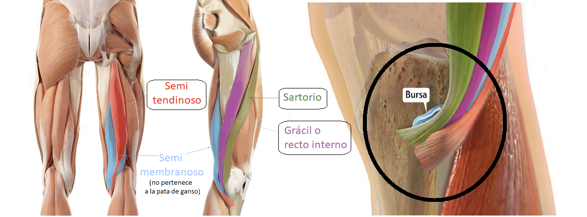 músculos de la pata de ganso o pes anserinus