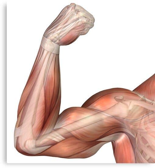 Anatomía músculos del brazo