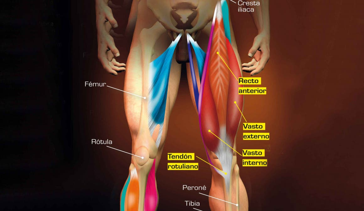 Músculos extensores de la rodilla