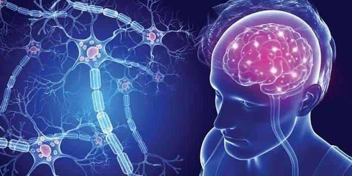 Sistema nervioso anatomía