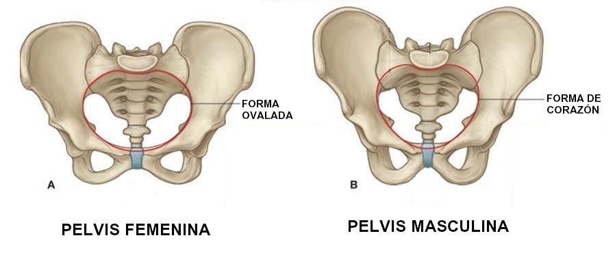 Anatom a de la pelvis femenina y masculina suelo p lvico for Agujeros femeninos