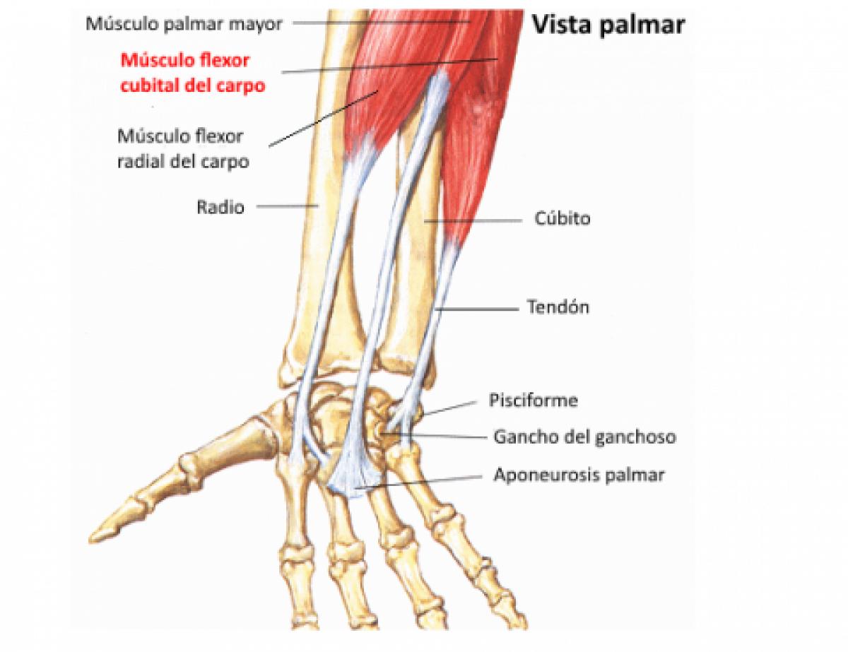 Tendinitis del cubital anterior y posterior. Causas, síntomas y ...