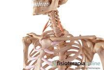 Síndrome del desfiladero de los Escalenos. Qué es, causas, síntomas y tratamiento.