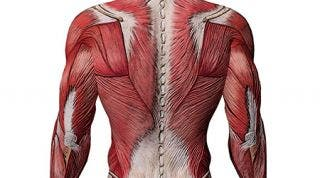 ¿Por qué los músculos se llaman así?