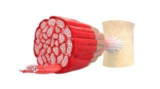 ¿De qué está formado el músculo?