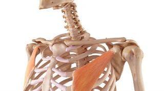 Pectoral Menor. Anatomía, función y lesiones en las que se ve involucrado