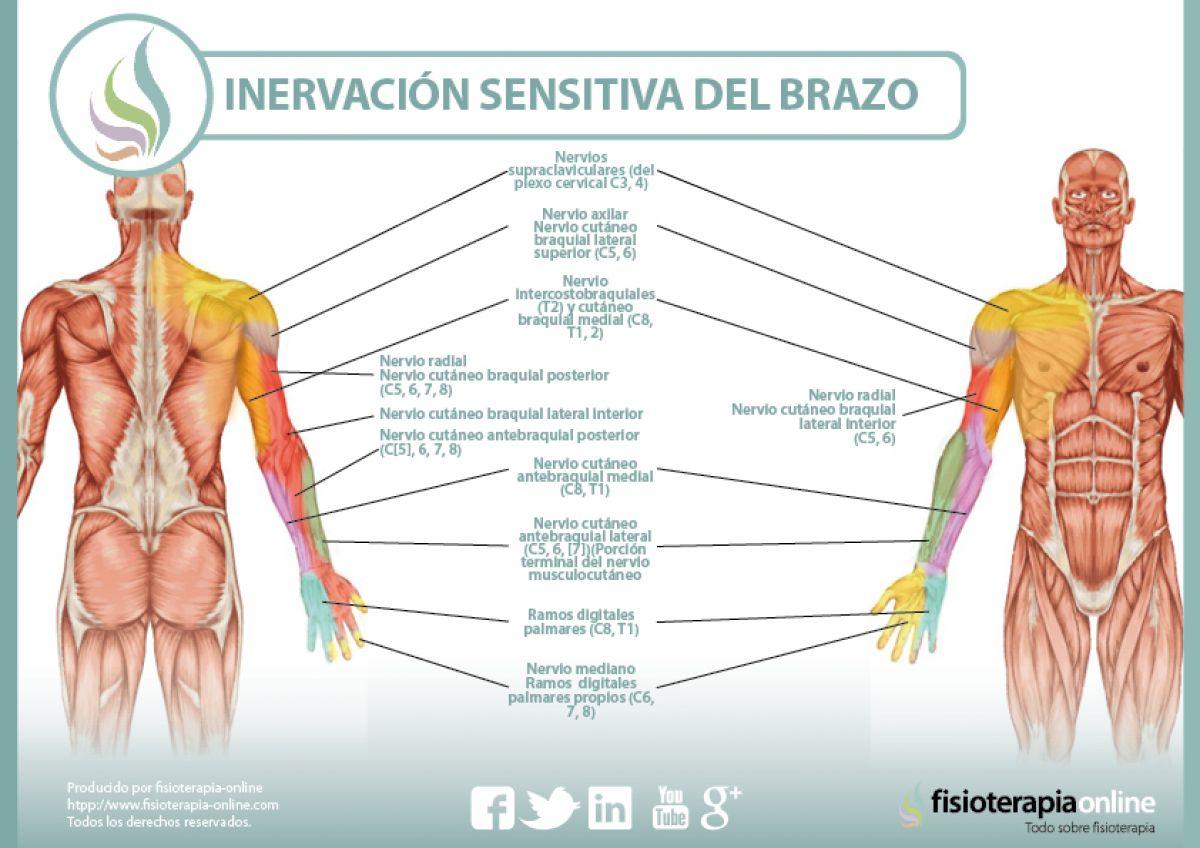 Inervación sensitiva y neurodinámica del brazo