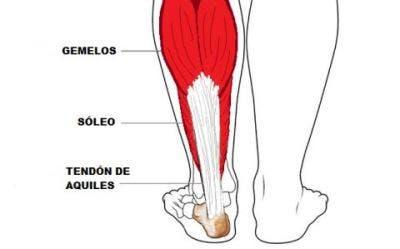 anatomia de los músculos gemelo y soleo