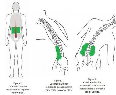 Conoce un poco más sobre tu cuerpo: El Cuadrado lumbar.   FisioOnline