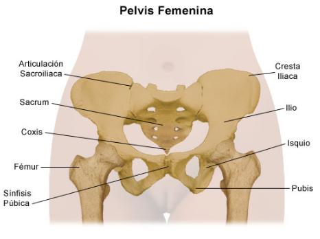 Anatomía de la pelvis femenina y masculina. Suelo pélvico y diferencias
