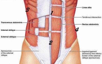 m'usculos abdominales anatom'ia