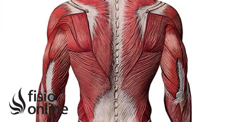 Por qué los músculos se llaman así? | FisioOnline