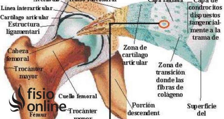 La artritis y la artrosis se refieren a la inflamación y degeneración de la articulación y el cartílago articular pero ¿qué es este cartílago?