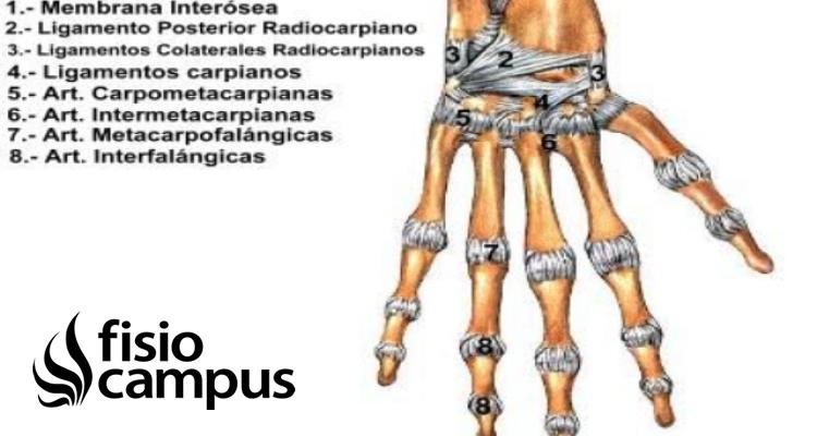 articulaciones carpianas