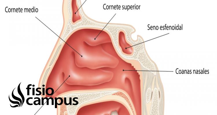 Cornetes nasales