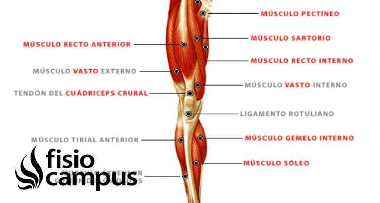 músculo cuádriceps