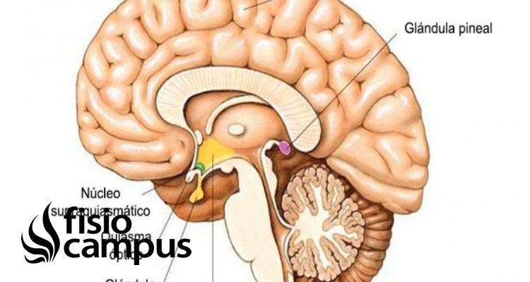 epífisis cerebral
