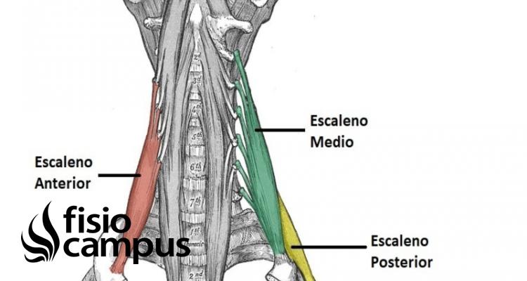 Músculos Escalenos