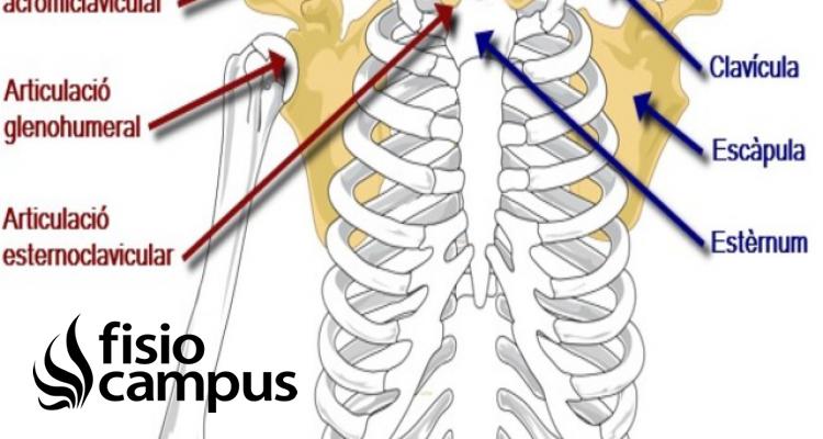 articulación Escapulotorácica