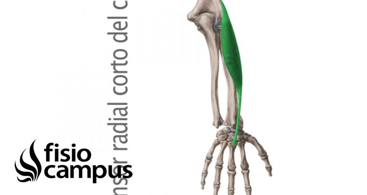 músculo extensor radial corto