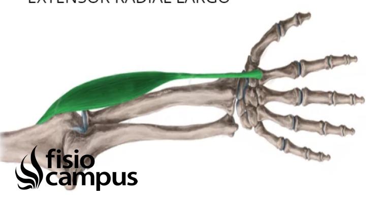 músculo extensor radial largo