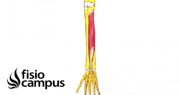 Músculo Flexor común profundo de los dedos