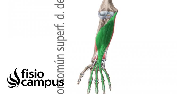 Músculo flexor superficial de los dedos