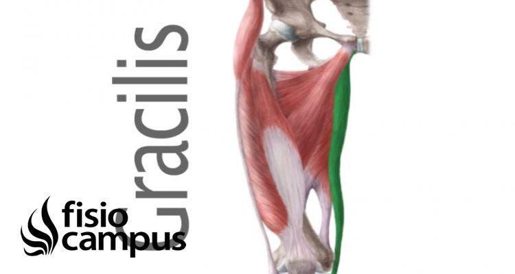 músculo grácil