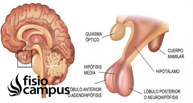 hipófisis